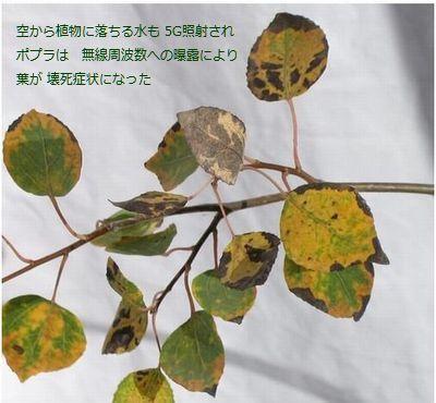 emf-5G-Radiation-Leaves-necrosis.jpg